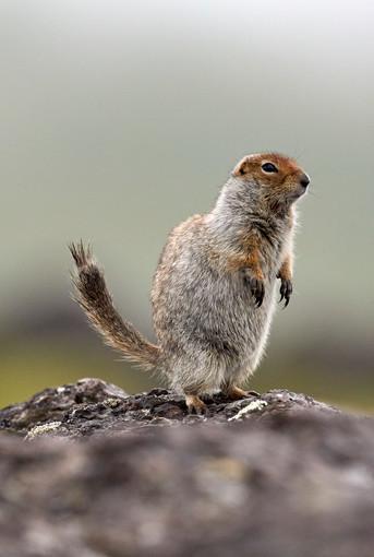 Squirrel lookout, Kamchatka