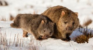 Wombat-0222.jpg