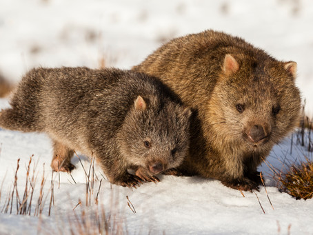On the snowfields with Tasmania's adorable wombats