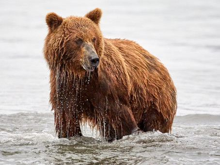 In the wild with Kamchatka's magnificent brown bears