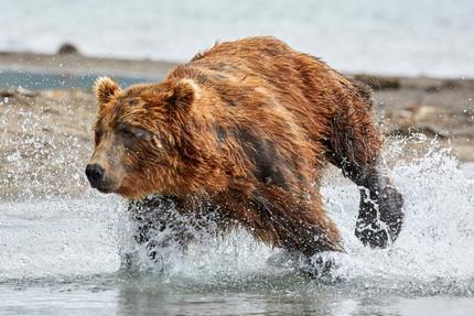 The chase, Kurilskoye Lake Kamchatka