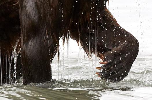 Best claw forward, Kurilskoye Lake Kamchatka
