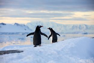 Penguin waddle, Antarctica