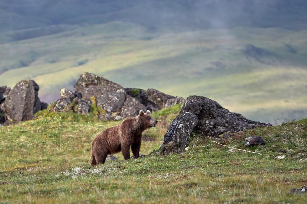 Bear Visitor, Kamchatka