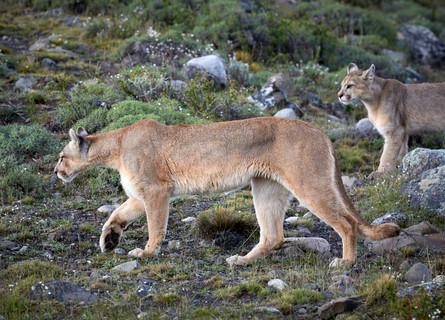 Paws, Patagonia