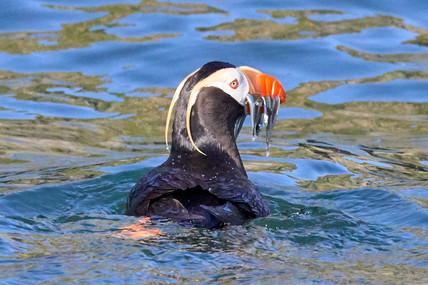 Feeding time, Avachinsky Gulf Kamchatka
