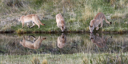 Puma reflections, Patagonia