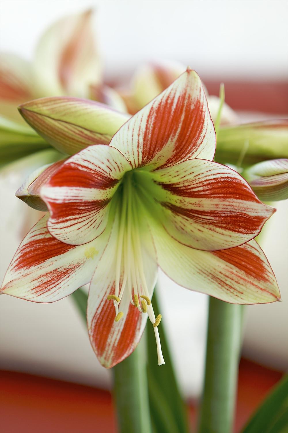 Blooming Amaryllis (Hippeastrum)