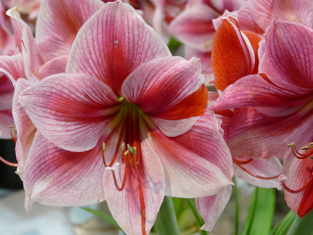 How to Grow an Amaryllis (Hippeastrum)