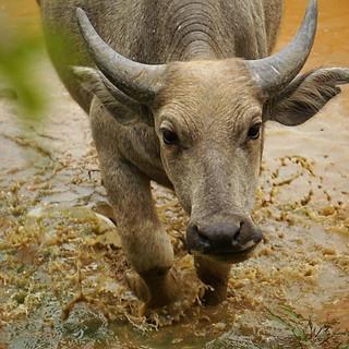 Büffel in Angkor Wat