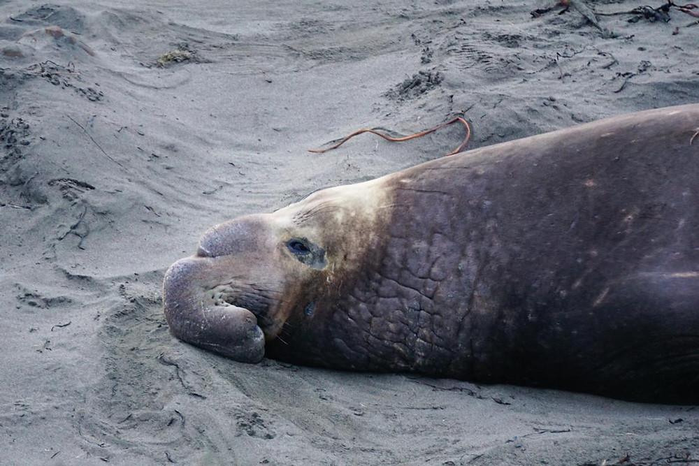 elephant-seal-vista-point