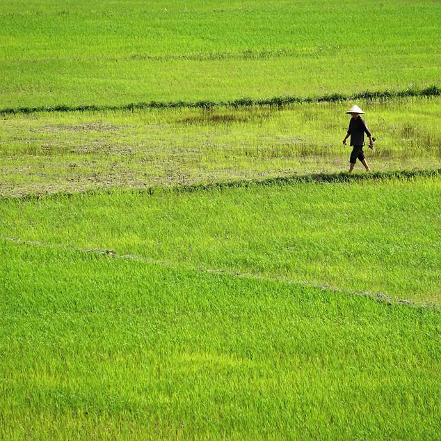 Reisfeld bei Son Trach
