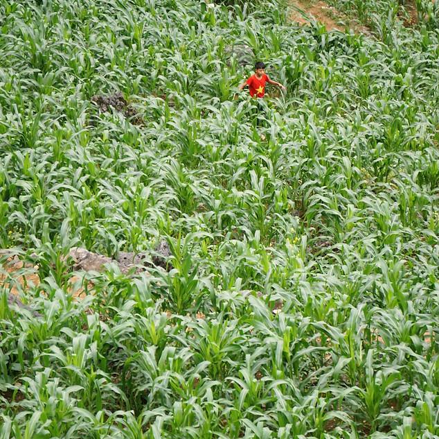 Junge im Maisfeld beim Ha Giang Loop