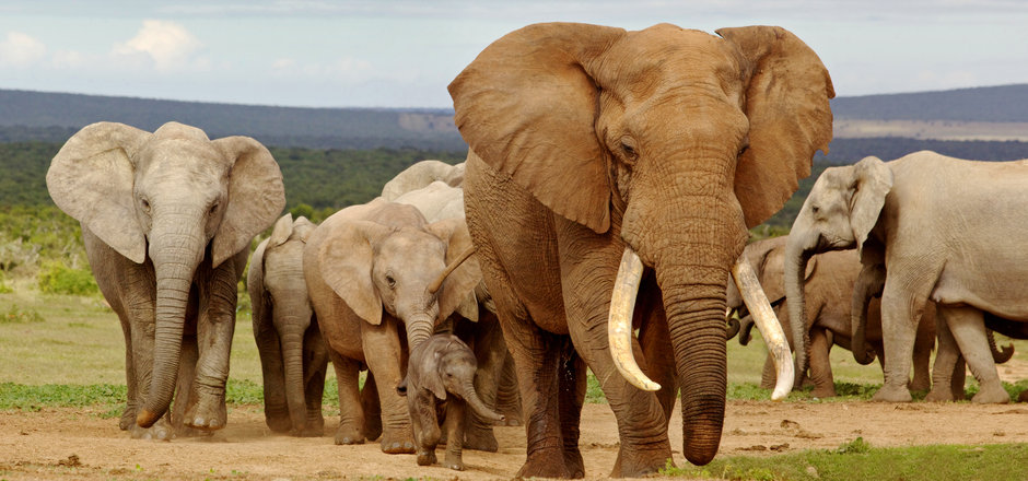 An elephant herd, led by a Magnificent '
