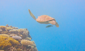 Great-barrier-reef-seaturtle.png