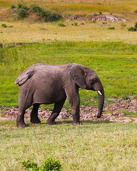 Masai-mara-elephant.JPG