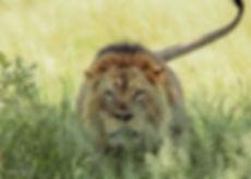 Lion -9.jpg
