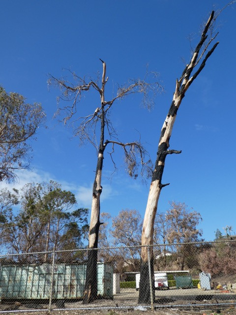 Burnt Eucalyptus