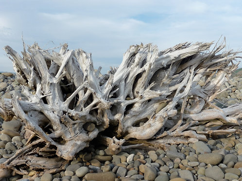 Monterey Pine Roots On Beach