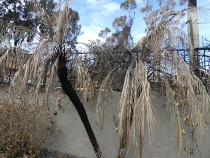 Palms, Eucalyptus: Fire Spreaders in our Urban Forest
