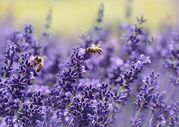 bees-on-purple-flower-164470.jpg