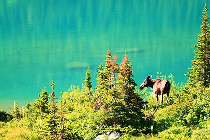 Montana Moose.jpg