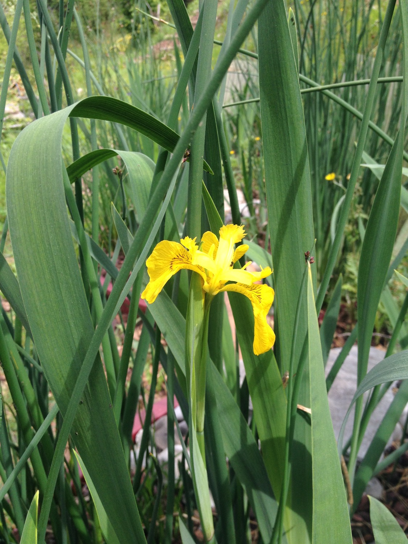 Iris jaune des marais