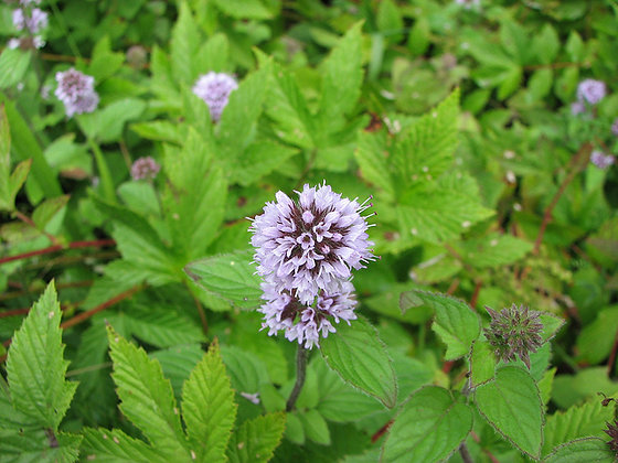 MENTHE AQUATIQUE - (Mentha aquatica) Plante sechée