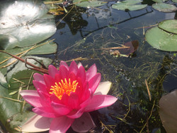 Water lilies in our pond