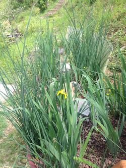 Au printemps les iris et les scirpes