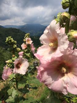 roses trémières et la vue