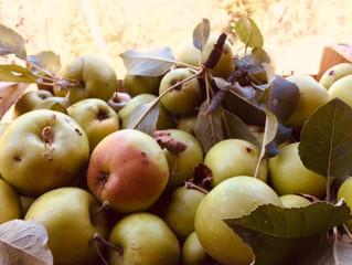 Récolte des pommes du jardin!