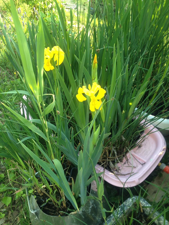 Les iris jaunes dédoublés