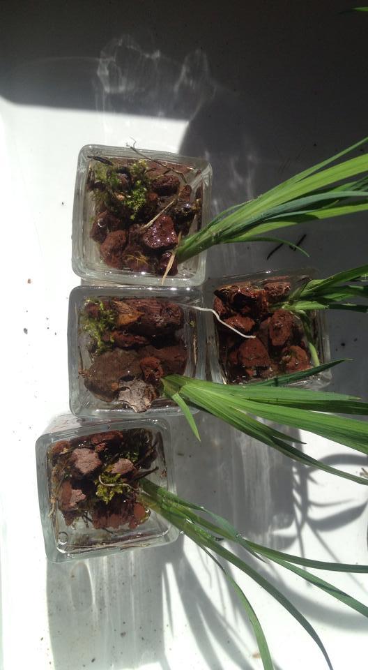 Iris jaunes en pépinière
