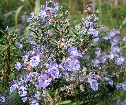 - ROMARIN - (Romarinus Officinalis) plante séchée