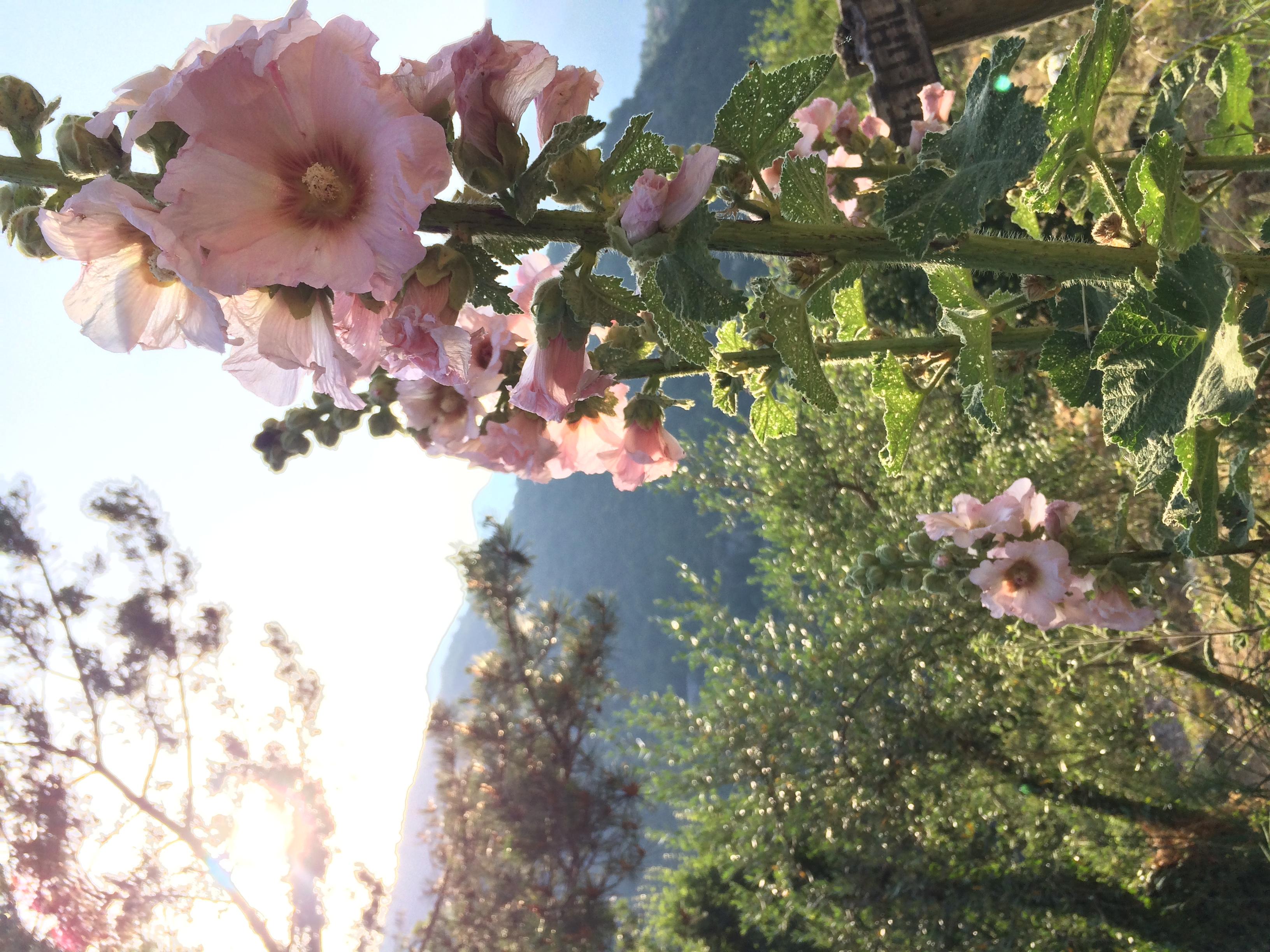 Roses trémières dans le jardin