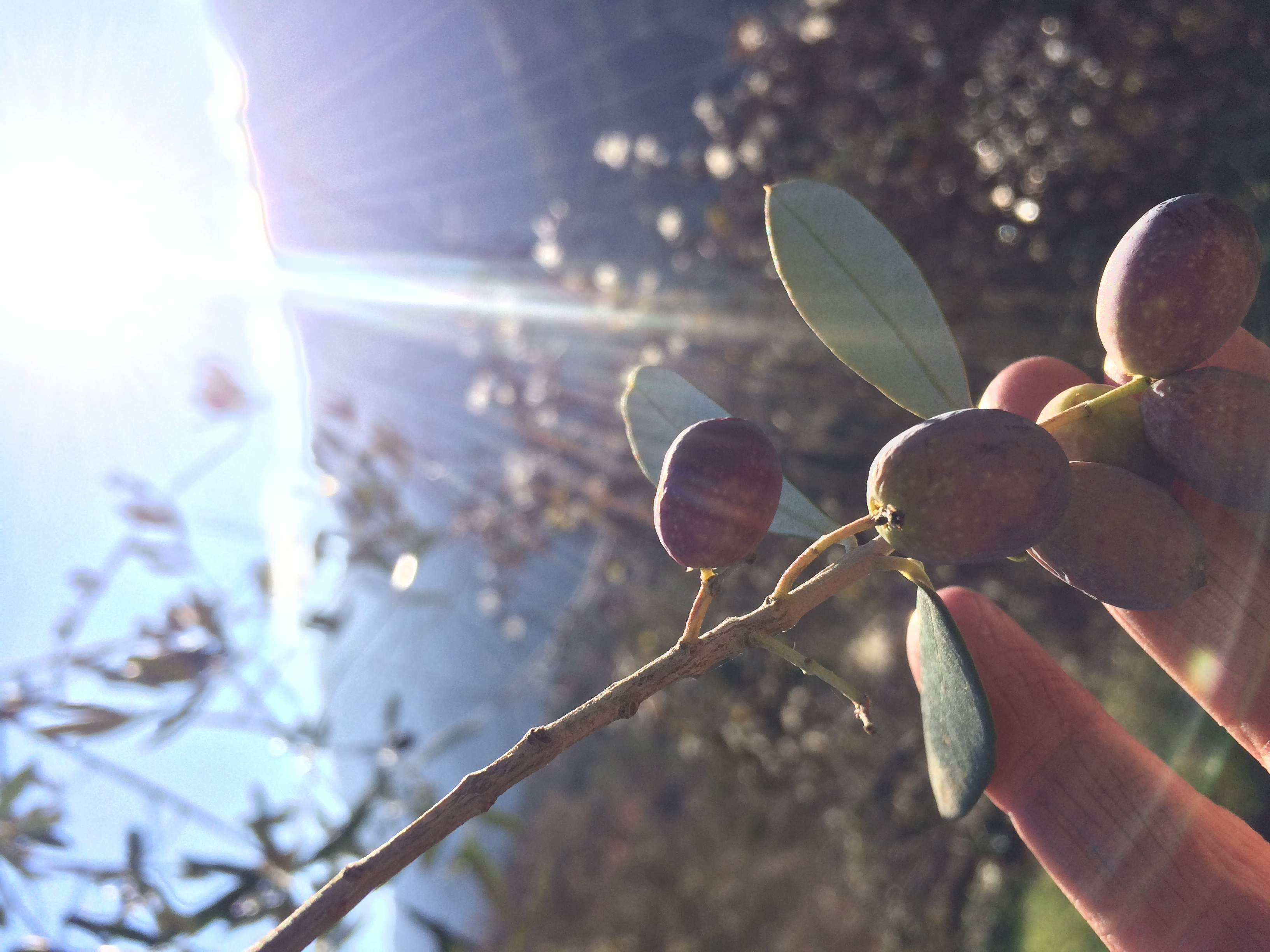 Olives from the garden