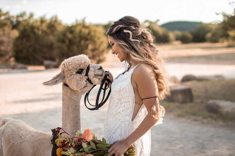 Bride wearing a wedding dress while petting an alpaca in the texas hill country