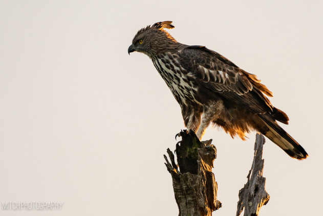 2019 - Sri Lanka - Eagle