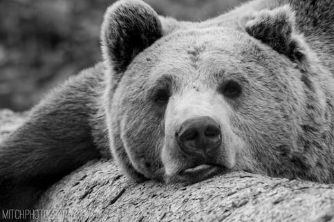 2020 - Bear