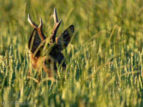 2020 - Bavaria - Red Deer