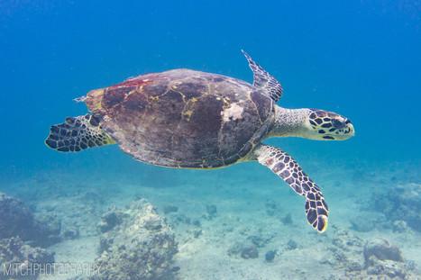 2019 - Maldives - turtle