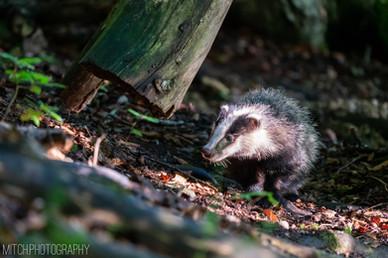 2020 - Badger
