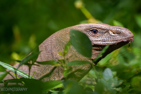 2019 - Sri Lanka - Lizard