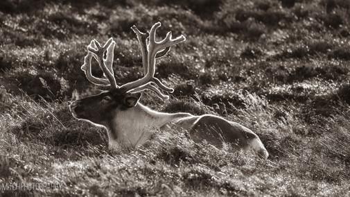 2019 - Scottland - Reindeer