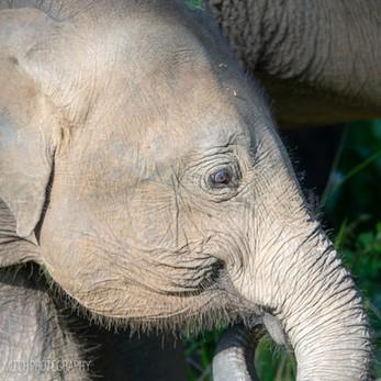 2019 - Sri Lanka - Baby Elephant