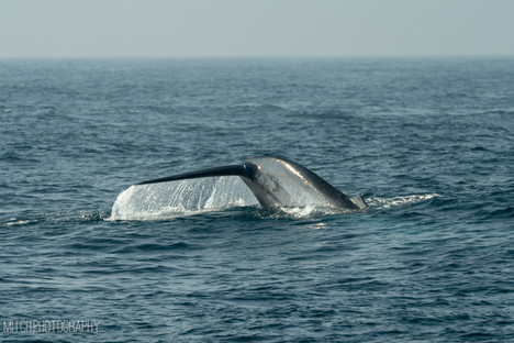 2019 - Sri Lanka - blue whale
