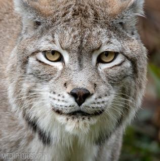 2018 - Black Forest - Lynx