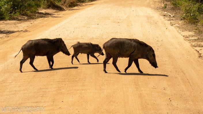 2019 - Sri Lanka - wild pig