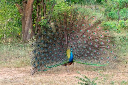 2019 - Sri Lanka - Peacock